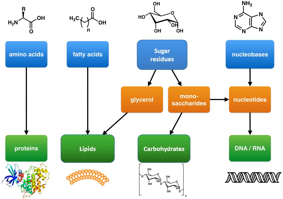 https://wou.edu/chemistry/files/2017/01/building-blocks-and-macromolecules.png