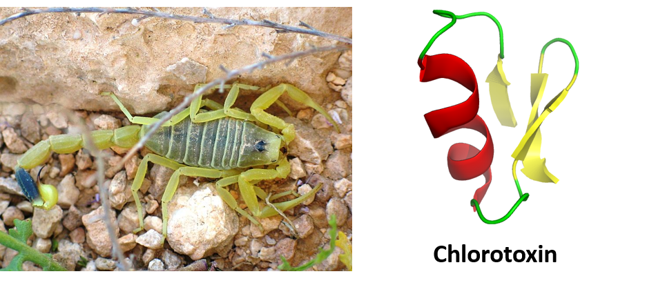 Ch105 chapter 6 a brief history of natural products and organic figure 611 chlorotoxin from the deathstalker scorpion leiurus quinquestriatus a ribbon diagram of the chlorotoxin protein is shown on the right ccuart Gallery