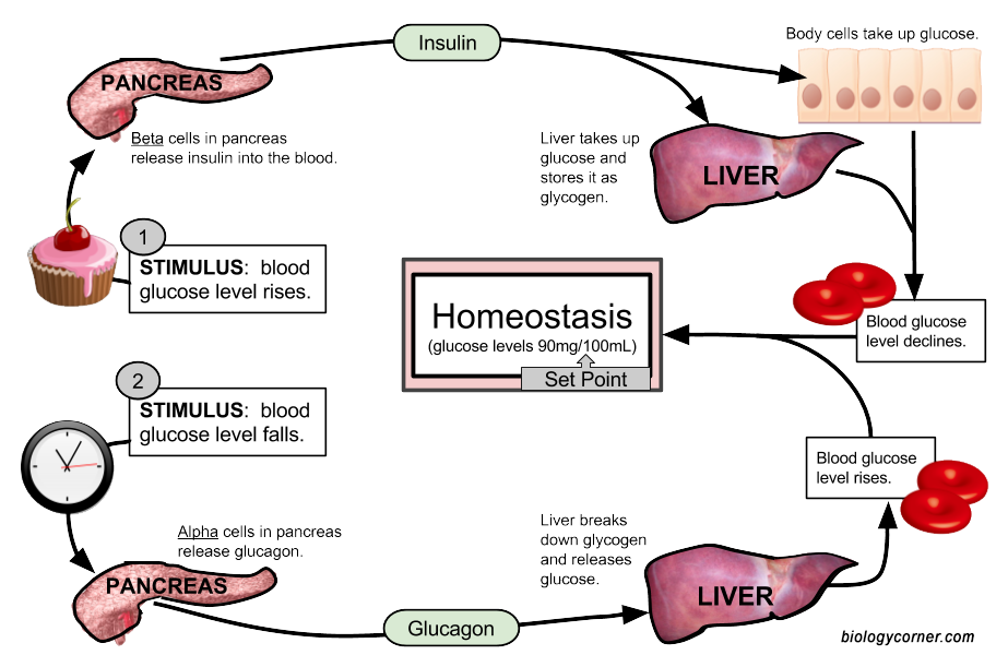 Ch103 Chapter 8 Homeostasis And Cellular Function Chemistry