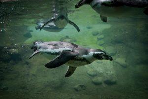 image of penguins swimming underwater