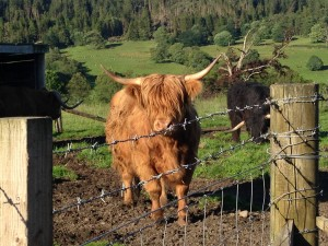 Some pretty awesome highland cows